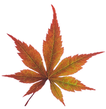 fall leaf d.png