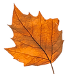 fall leaf cc.png