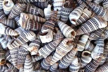 Cerithium Sulcata Shells - Set of 10