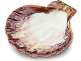 Abalone or Lion Paw Shell