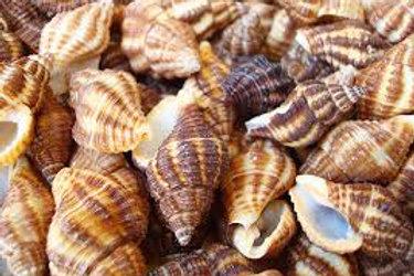 Latrius Gibbucus Shells Set of 5