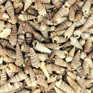 Rhinoclavis Seashells