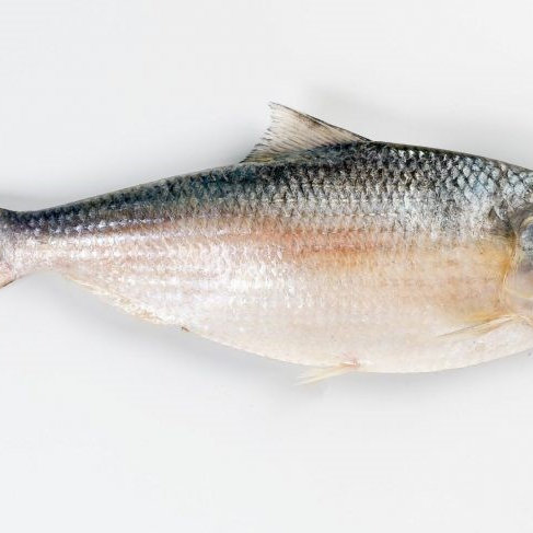 Fish Hilsha