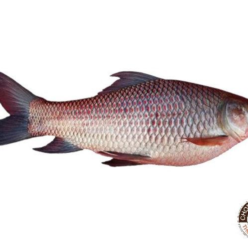 Fish Rohu