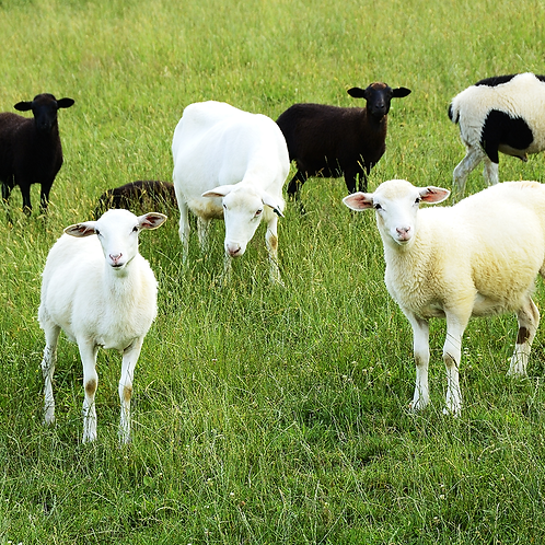 Whole Lamb - Booking Advance