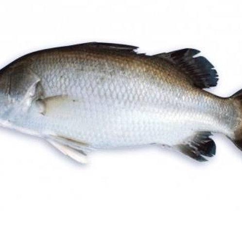 Fish Koral/Asian Seabass