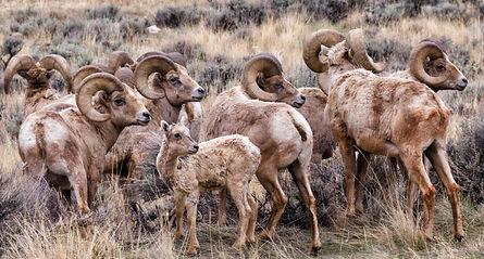 freemont Bighorn-sheep_2-Bill-Sincavage-1200x645.jpg