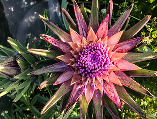An artichoke, one of many structural plants grown in the garden