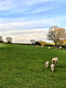 Our sheep neighbours!