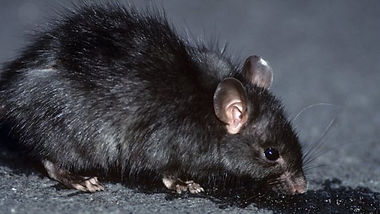rato-de-telhado-bratox-dedetizadora.jpg