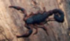 escorpiao-preto-bratox-dedetizadora.jpg