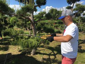 Стрижка садового бонсая по текущему прир