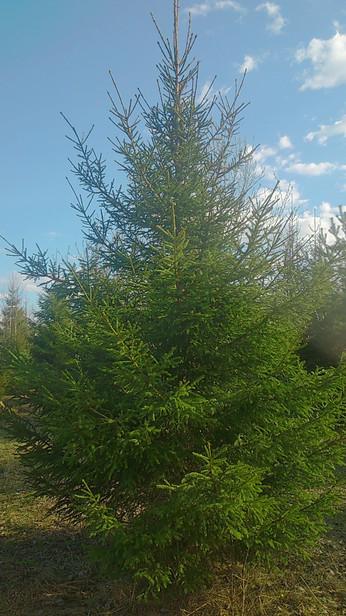 Ель Обыкновенная 5,0-6,0 метров
