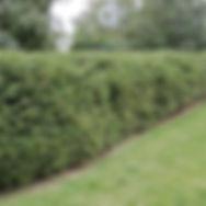 живая изгородь из ели 2.jpg