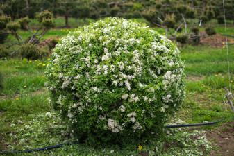 спирея серая Grefsheim цветущий шар.jpg