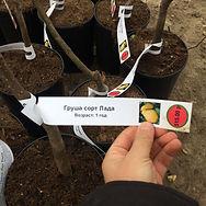 Отбор плодовых деревьев в питомнике Моск