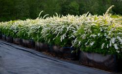 спирея серая Grefsheim в цвету.jpg