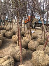 Посадка декоративных яблонь в г. Альметь