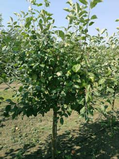 Яблоня 5-7 лет