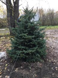 Посадка голубых елок 2,0+ метра в Арском