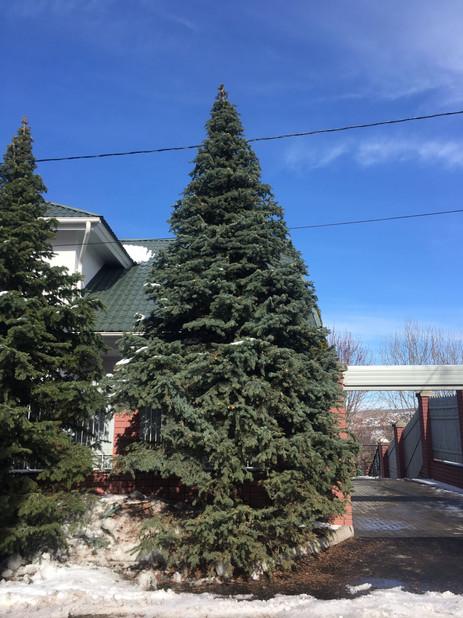 Формовочная обрезка голубых елок высотой