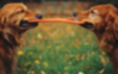 two dogs tug of war