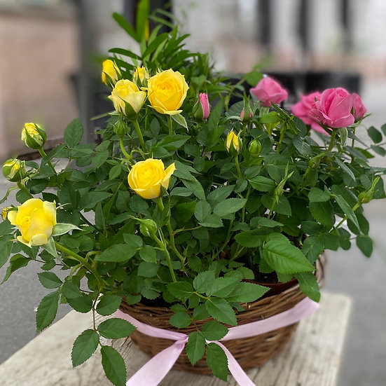 Cserepes rózsák
