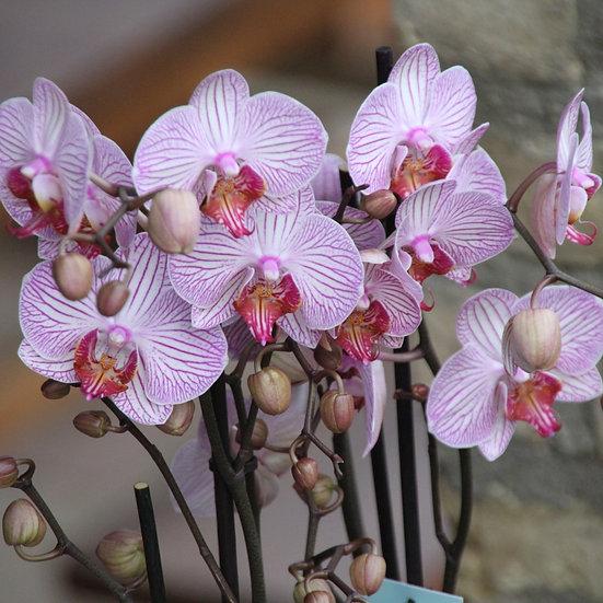 Orchidea Csónak