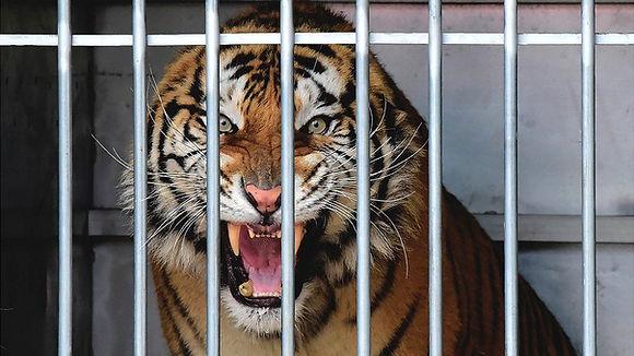 tiger cage.jpg
