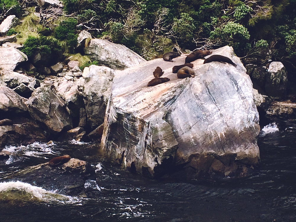 Milford seals on Seal Rock in Milford Sound
