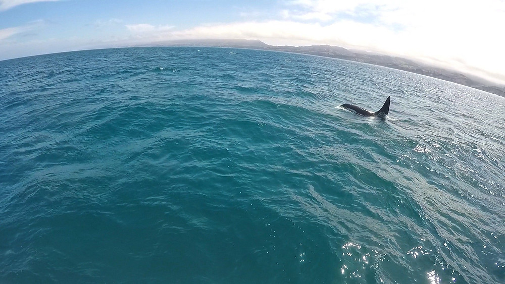 Dolphin watching in Kaikoura with the appearance of an orca