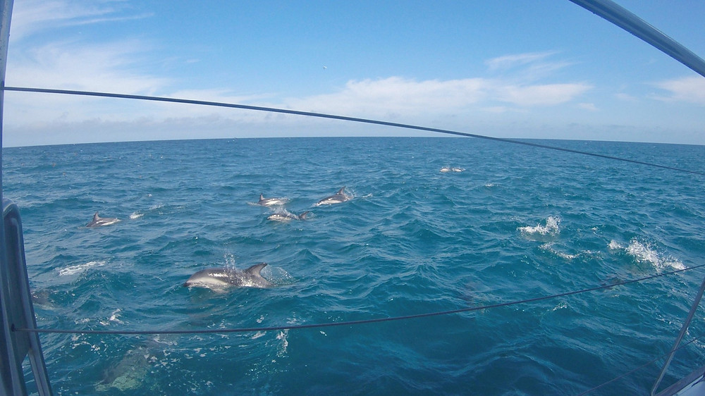 Dolphin watching in Kaikoura