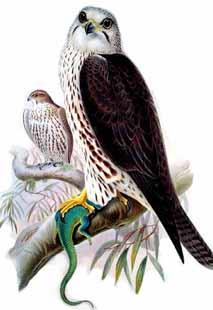 Faucon-sacre2