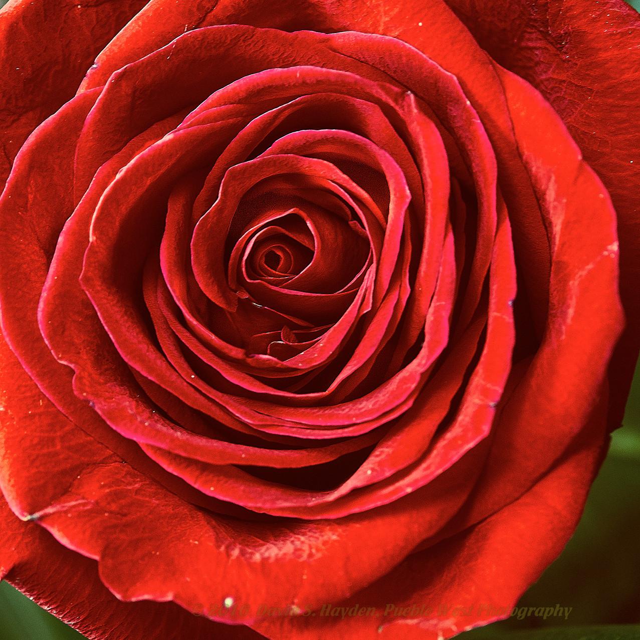 Rose_2017-01-15 1.jpg