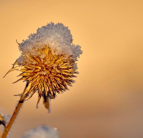 Snow blossom 2
