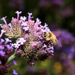 Bee_2016-08-20.jpg
