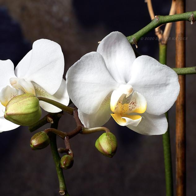 Orchid_DSC00334_©_2020_David_S_Hayden.j
