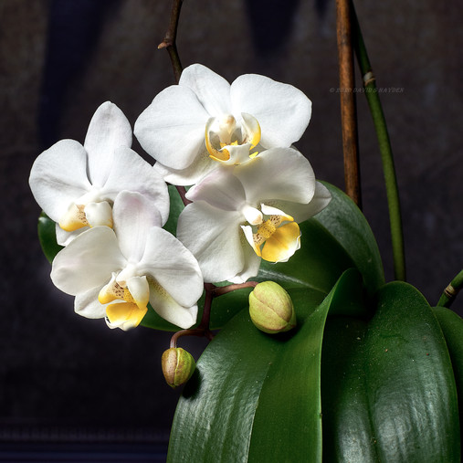 Orchid_DSC00335_©_2020_David_S_Hayden.j