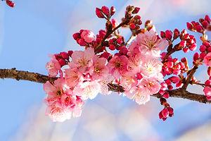 Canva - Pink Cherry Blossom Flowers.jpg