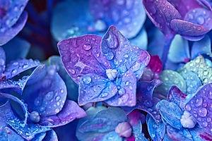 Canva - Wet Hydrangea Flowers.jpg