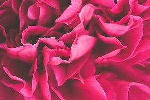 Canva - Close-up Photo of Pink Petaled F