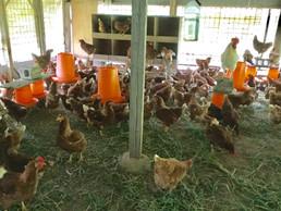 だし巻き卵を支えてくれる鶏