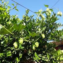 Planta de lúpulo