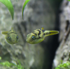 Erbsenkugelfisch