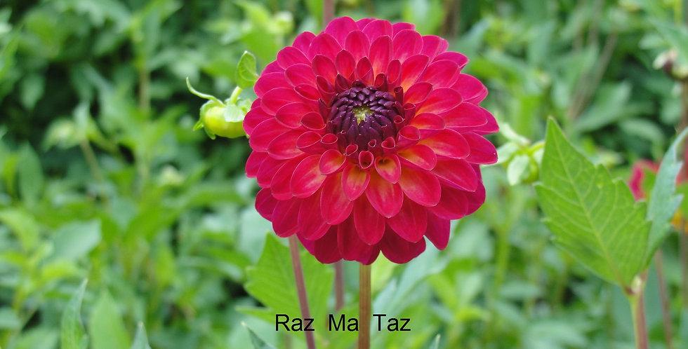 Raz Ma Taz