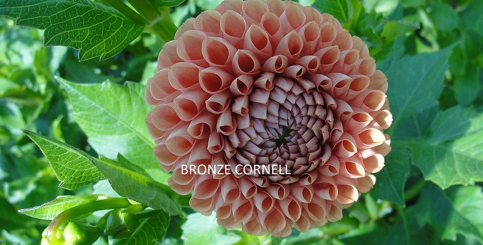 Bronze Cornell