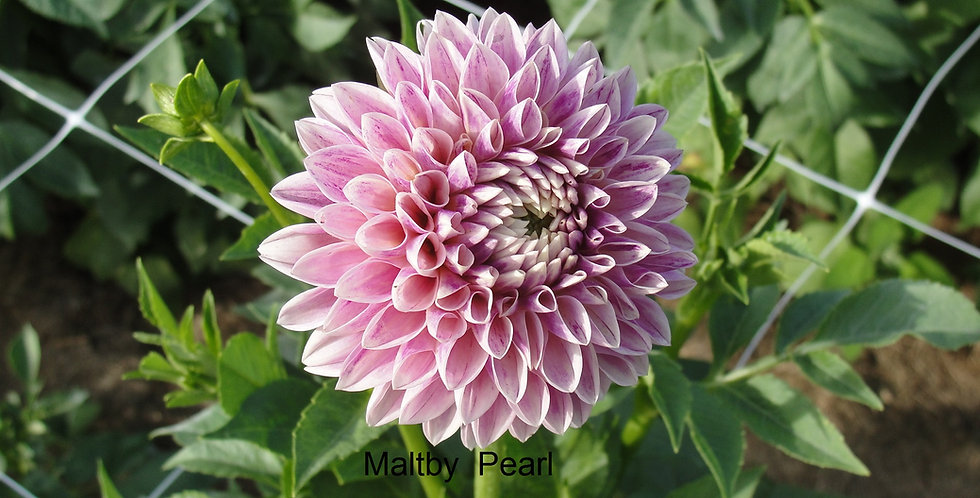 Maltby Pearl