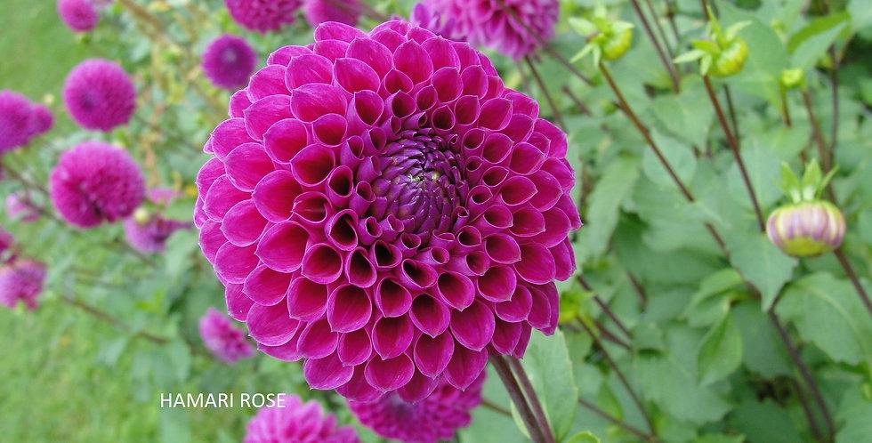 Not Hamari Rose