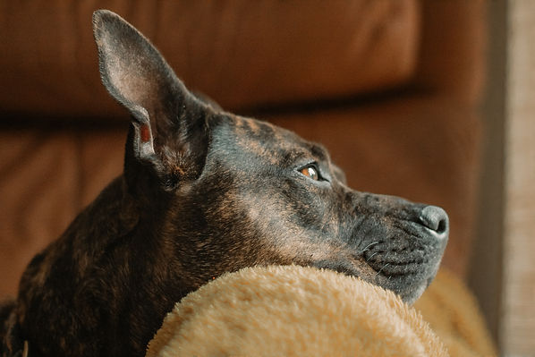 pitbull portrait.jpg