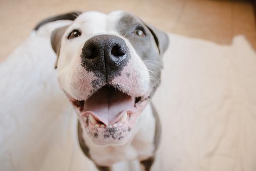 adoptable pitbull.jpg